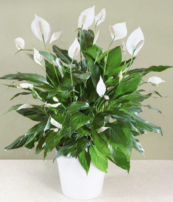 Espatifilo esa popular planta para interiores - Planta cuna de moises ...